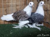 العرض الثاني مجموعة طيور((تم البيع))