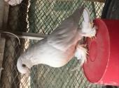 أنثى لونق بيضاء ( المخواة)