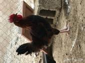 ديك فرنسي ودجاجة تركية( لاحم بياض)