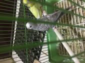 طيور بادجي او حب