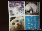 قطه شرازيه للبيع