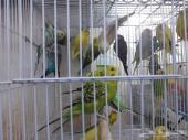 دفعة جديدة طيور حب سعر الجوز 120 ريال