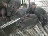للبيع 8 أرانب عمرها شهرين صحتها ممتازة