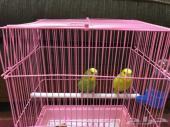 للبيع ذكور طيور حب