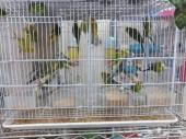 طيور الحب بادجي للبيع