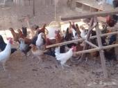 دجاج بياض بلدي للبيع