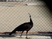 انثي طاووس هندي