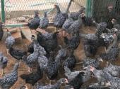 دجاج فيومي تركي عمر 3 شهور بالرياض