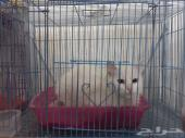 بدأنا عروض على قطط شيرازي أناثي ب300 يوجد صور