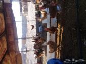 دجاج بلدي لبيع بالعيص