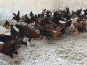 دجاج وديوك بشاير تم البيع الله يبارك له يارب