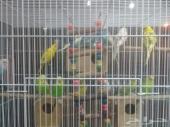 طيور الحب للبيع بادجي