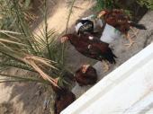 للبيع دجاج هندي
