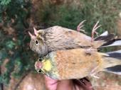 طيور بزابيز حية للمحميات