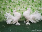 جوز رقاص هندي أبيض معه طبة كبيرة