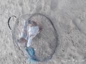 زوج حمام زاجل الجبيل
