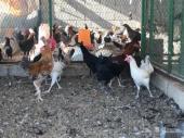 دجاج بلدي بشاير بدأ يبيض
