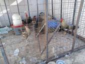 دجاج بلدي بياض شرط