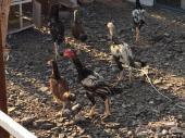 ديك ودجاج باكستاني