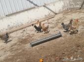 دجاج مشكل للبيع