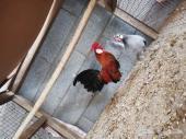 للبيع جوز دجاج روز