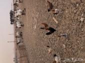 للبيع دجاج عمر 6 شهور