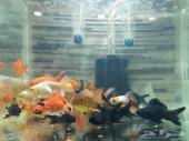 وصول 20 نوع سمك زينة وسلاحف ومستلزمات واحواض