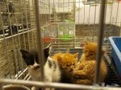 قطط صغيرة شيرازي عمر شهر ونص وعمر شهرين للبيع