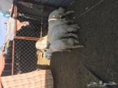 خروفين ورخلين للبيع