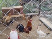 محايل ديك ودجاج بلدي الاصيل