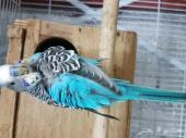 جوز طيور حب مع فروخه