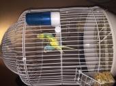 للبيع طيور الحب عدد اثنين فقط (ذكر وانثى)