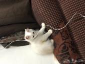قط شيرازي اصلي