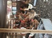 دجاج بلدي بياض على الشرط