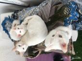 قطة شيرازية بيضاء مع 2اولادها