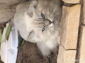 قطه شيرازي للتبني اليوم فقط لون سكري عيون زرق