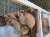بيض سمان كريمي مخصب للفقاسه والاكل