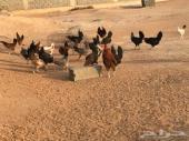 دجاج بلدي .. بيض جديد