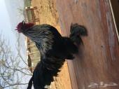 دجاج كوشن للبيع بياض