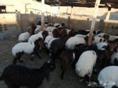50 رأس هرافي و10 تيوس لبانيات في طريف