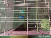زوج طيور