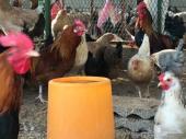 دجاج بلدي   بيض طازج