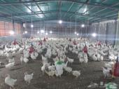 نفذت الكميه  دجاج ابيض بياض