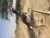 دجاج باكستاني سندي