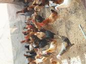 للبيع دجاج بلدي  بشاير