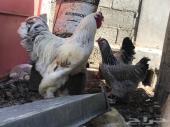 دجاج براهما توب التوب ما شاء الله