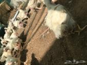 دجاج لاحم