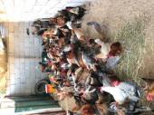 للبيع دجاج