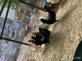 للبيع 5دجاج وديك نوعهم فرنسي او بلدي ع فرنسي