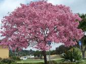 بذور شجرة التابوبيا من اجمل أشجار الزينه
